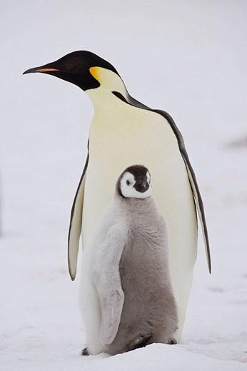 Stock Photo: 1566-432463 Emperor Penguin Aptenodytes forsteri with chick at Snow Hill Island, Weddel Sea, Antarctica