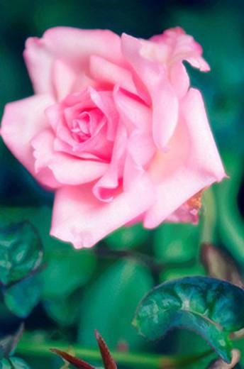 Pink Rose Flower. Rosa hybrid. September 2006, Maryland, USA : Stock Photo