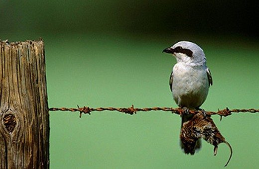 Stock Photo: 1566-432908 Great grey shrike (Lanius excubitor) with impaled mouse prey. Lorraine, France