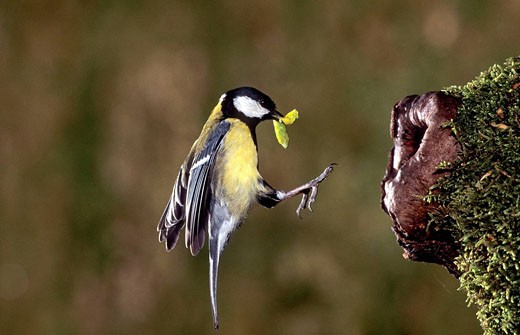 Stock Photo: 1566-432911 Great Tit (Parus major) flying to the nest hole with caterpillar prey. Lorraine, France