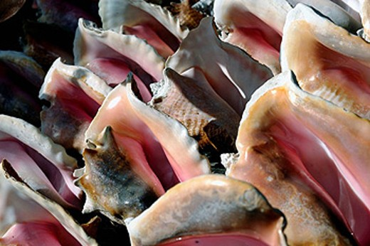 Stock Photo: 1566-434676 Collection of protected Conch Shells for sale on a road side stall close to Crown Point ant Pigeon Point, Island of Tobago, Republic of Trinidad and Tobago