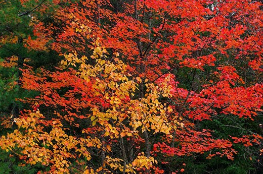 Stock Photo: 1566-435562 Maple Tree with fall foliage in autumn, close up  Algonquin Provincial Park, Ontario, Canada