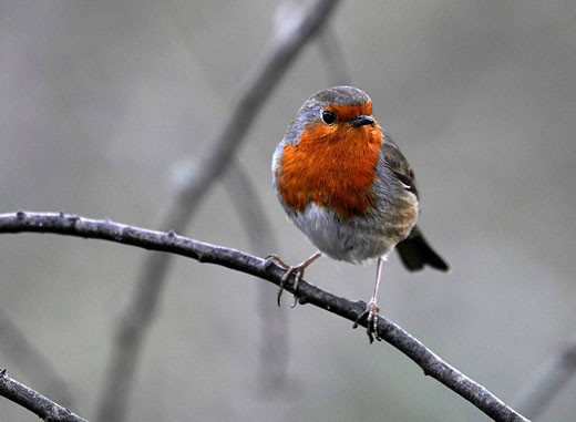 European Robin (Erithacus rubecula) perched on a branch, Washington Wildfowl and Wetlands Trust, Tyne and Wear, England. : Stock Photo