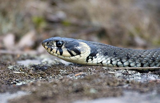 Stock Photo: 1566-439349 Grass snake. Småland, Sweden