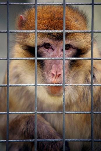Macaco of Gibraltar (Barbary Macaque) in the Safari Aitana. Penáguila. Alicante. Comunidad Valenciana. Spain. Europe. : Stock Photo