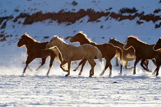 A herd of horses galloping throug the snowy plains of Shell, Wyoming, Usa : Stock Photo