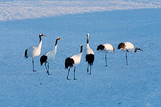 Red-crowned crane (Grus japonensis) : Stock Photo