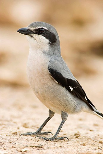 Southern Grey Shrike (Lanius meridionalis). Malaga, Andalucia, Spain : Stock Photo