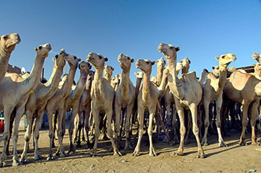 Stock Photo: 1566-441282 Herds of camels at the Birqash Camel Market near Cairo, Egypt