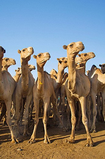 Herds of camels at the Birqash Camel Market near Cairo, Egypt : Stock Photo