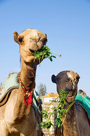 Stock Photo: 1566-441284 Two camels eating alfalfa at the Birqash Camel Market near Cairo, Egypt