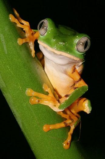 Treefrog. Napo River basin, Amazonia, Ecuador : Stock Photo