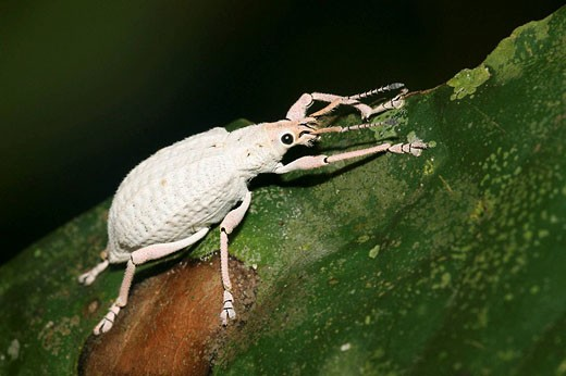 Stock Photo: 1566-441782 Albino weevil (fam. Curculionidae). Napo River basin, Amazonia, Ecuador