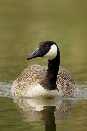 Canada Goose, Branta canadensis, Germany : Stock Photo