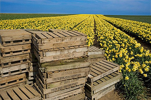 Stock Photo: 1566-443229 Daffodil Fields and old boxes Norfolk April