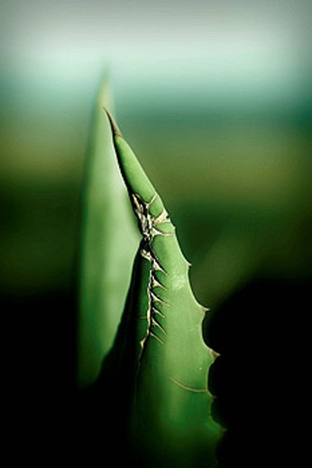 Hoja de cactus. Primer Plano. : Stock Photo
