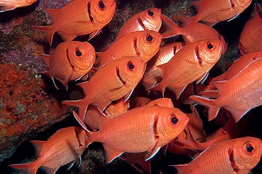 Stock Photo: 1566-444282 Blackbar soldierfish, Myripristis jacobus, aggregation, St  Peter and St  Paul´s rocks, Brazil, Atlantic Ocean