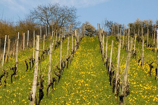 Vineyard with wild tulipes (Tulipa sylvestris), springtime, lower mountain ranges of Steigerwald, Franconia, Bavaria : Stock Photo