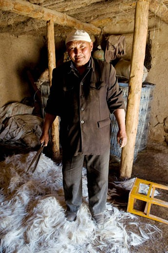 Stock Photo: 1566-445584 A friendly Kazakh man cuts down the wool of his sheep