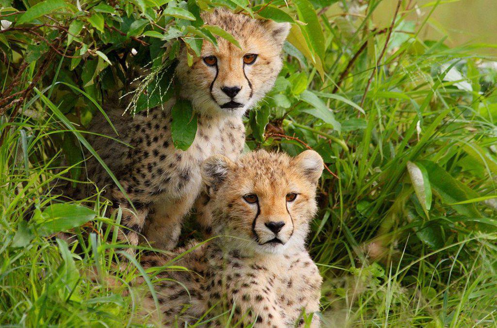 Stock Photo: 1566-445610 Two cheetah cubs sitting in a bush in the Masai Mara, Kenya