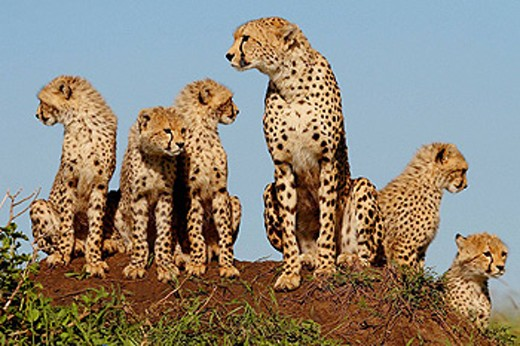 Mother cheetah and cubs on a termite mound in the Masai Mara, Kenya : Stock Photo