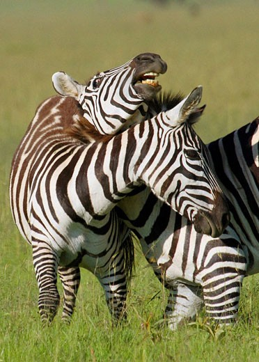 Stock Photo: 1566-445615 Two Burchell´s zebra play fighting on the plains of the Masaii Mara, Kenya