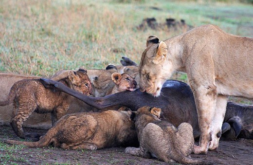Stock Photo: 1566-445624 Lioness and cubs on a kill in Amboseli, Kenya