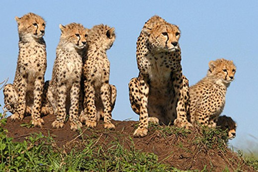 Mother cheetah and 5 cubs on a termite mound in the Masai Mara, Kenya : Stock Photo