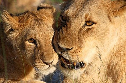 Lioness grooming her cub on the plains of the Masai Mara, Kenya : Stock Photo