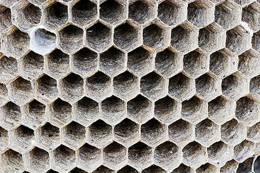 Combs built by wasps  Saxon wasp Dolichovespula saxonica construction of the nest combs - Bavaria / Germany : Stock Photo