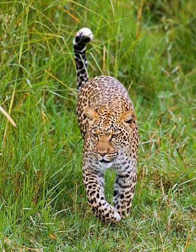 African Leopard walking through tall grass (Panthera pardus) : Stock Photo