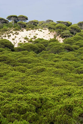 Pine forest, Doñana National Park. Huelva province, Andalucia, Spain : Stock Photo