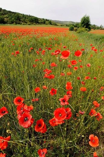 Poppies (Papaver rhoeas) field, Osseja. Pyrenees-Orientales, Languedoc-Roussillon, France : Stock Photo