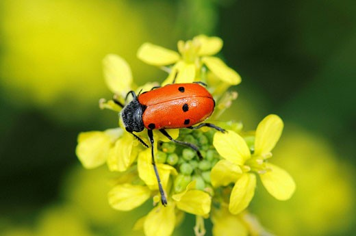 Leaf beetle (Lachnaia vicina). Collserola park, Barcelona, Catalonia, Spain : Stock Photo
