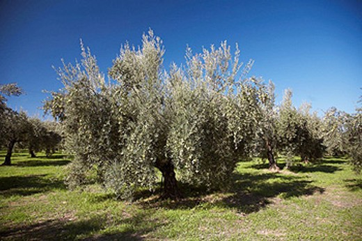 Olive grove. Cordoba province, Andalucia, Spain : Stock Photo