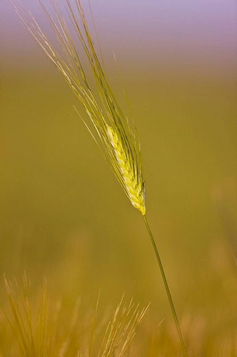 Barley, Doñana National Park. Huelva province, Andalucia, Spain : Stock Photo