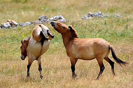 Semi wild Przewalski horses (Equus ferus przewalskii), two stallions fighting, Parc du Villaret, Causse Mejean, Lozere, France : Stock Photo