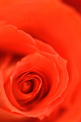 Red Rose Close_up. Rosa hybrid. February 2008, Maryland, USA : Stock Photo