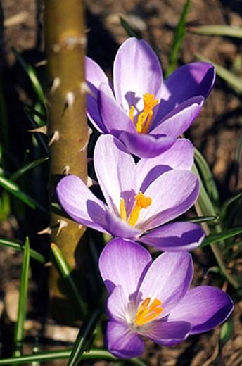 Crocus Flower Trio, Rose with Thorns. Crocus vernus. March 2008, Maryland, USA : Stock Photo