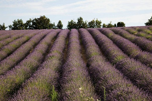 Stock Photo: 1566-457878 France  Provence Sault en Provence  Lavender fields