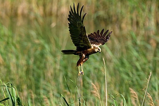 Marsh harrier (Circus aeruginosus), female flying over reed, with prey in its claws, Franconia, Northern Bavaria, Germany : Stock Photo