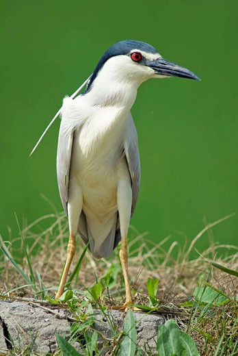 Black-crowned Night Heron (Nycticorax nycticorax) : Stock Photo