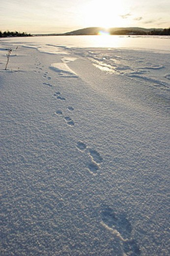 Stock Photo: 1566-461416 Track of a Mountain Hare (Lepus timidus) in the hoarfrost covered snow. It´s noon, but the sun is low here in northern Scandinavia. River Ångermanälv between Kramfors and Sollefteå, Västernorrland, Norrland, Sweden, Europe