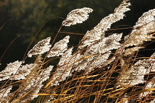 Common reed (Phragmites australis). Västernorrland, Norrland, Sweden, Scandinavia, Europe : Stock Photo