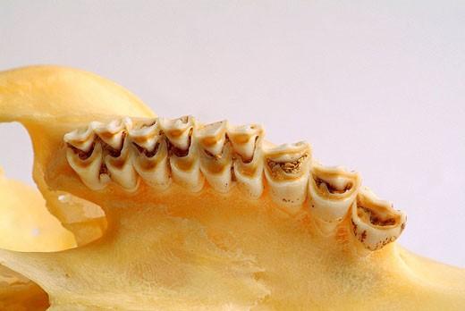 Stock Photo: 1566-462095 Molars of a herbivore, selenodont dentition  anatomy, zoology