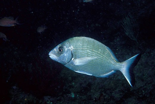 Stock Photo: 1566-462397 Eastern Atlantic Galicia Spain White sea bream Diplodus sargus