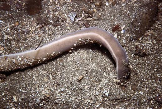 Eastern Atlantic Galicia Spain Ribbon worm Cerebratulus marginatus, Nemertea : Stock Photo