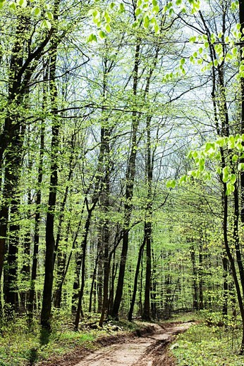 Footpath in beech and birch grove, Vosges mountains forest, Lorraine, France : Stock Photo