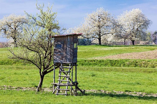 Hut raised hide standing against a blooming apple tree, Alsace, France : Stock Photo