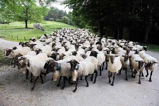 Transhumance to higher pastures in Urbia from ´caserío´ (typical farm) in the lowland, Basque Country, Spain : Stock Photo